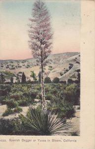 Spanish Dagger or Yucca in Bloom,  California,  PU-00-10s