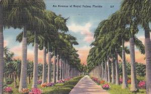 Florida Royal Palms An Avenue Of Royalo Palms 1950