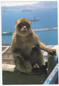 GIBRALTAR, 1950-1970's; Rock Ape, Mono Del Penon