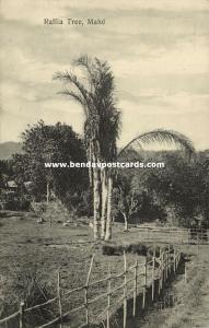 seychelles, MAHE, Raffia Tree (1910s)