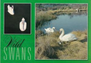 Birds Wild Swans In Southern New England