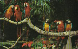 Florida Miami Colorful Macaws Parrot Jungle Red Road 1962