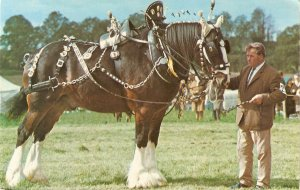 Shire horse in harness at a show Nice vintage English postcard