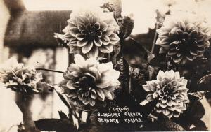 RP: Dahlias Flowers , Blanchard Garden , SKAGWAY , Alaska , 1910s