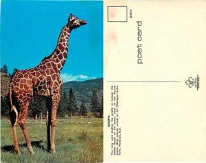 Giraffe at Okanagan Game Farm, Penticton, British Columbia, BC, Canada, Chrome