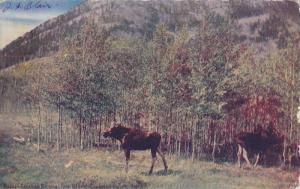 Moose,  Canadian National Park,  Banff,  Alberta,  Canada,   PU_00-10s