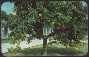 Orange Grove Court,Near Fort Myers,FL Postcard BIN