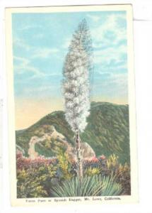 Yucca Palm or Spanish Dagger,Mt.Lowe,California,00-10s