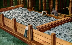 Scow Load of Salmon from Traps