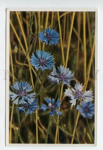 428070 Flower Centaurea Cyanus Vintage Sammelwerk Tobacco Card w/ ADVERTISING