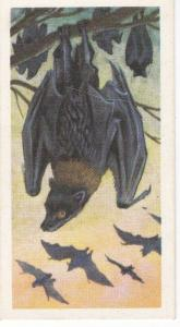 Trade Card Brooke Bond Tea Asian Wild Life No 9 Malay Fruit Bat