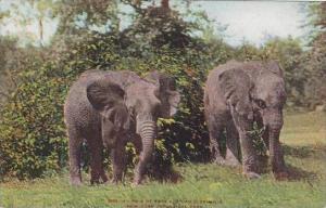 New York Zoo Pair Of East African Elephants