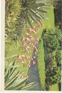 Colourful pink Florida Flamingos Nice vintage American postcard