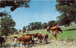 Cow Post Card Cattle at a Water Hole Unused