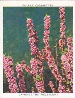 Wills Vintage Cigarette Card Flowering Shrubs 1934 No 6 Daphne