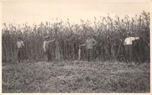 Farm Real Photo Postcard~4 Farmers Old to Young Harvesting Sugar Cane~1915 RPPC