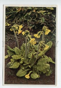 428067 Flower Primula elatior Vintage Sammelwerk Tobacco Card w/ ADVERTISING