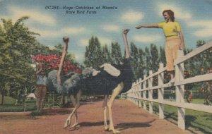 KENDALL, Florida, 30-40s;  Huge Ostriches at Miami's Rare Bird Farm