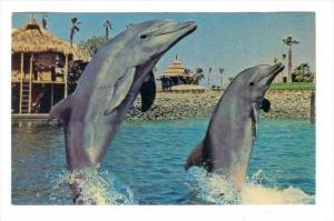 Pacific Bottlenose Dolphins, Brisk Walk On A Sunday Afternoon, Sea World, San...