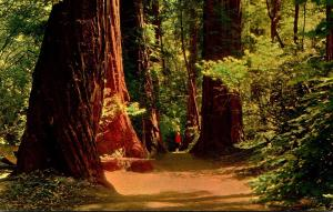 California Muir Woods National Monument Giant Redwoods