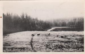 RP: QUESNEL, B.C., Canada , PU-1944; Moose Feeding In Field On Borkerville Road
