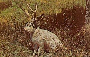 Exaggeration Post Card Mythical Jackalope North America Unused