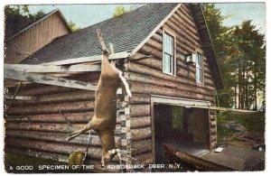 A Good Specimen Of The Adirondack Deer, N.Y.