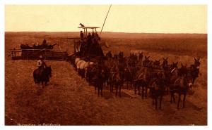 California , Harvesting Wheat Mule drawn Thresher
