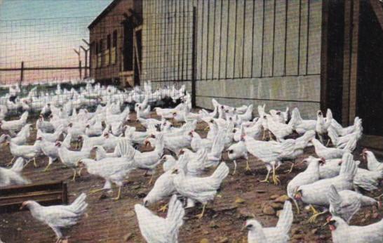 Birds White Yellow Legged Chickens Private Ranch Hotel Potter Santa Barbara C...