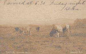 RP: Cattle , Yakima Valley, Washington, 1907 ; OAKES 26