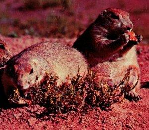Vtg Chrome Carte Postale Devils Tower Monument Wyoming Chubby Prarie Dogs Mignon