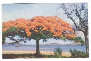 Un Flamboyant -Nouvelle Caledonie, Fire-Tree, New Caledonia, 1940-1960s