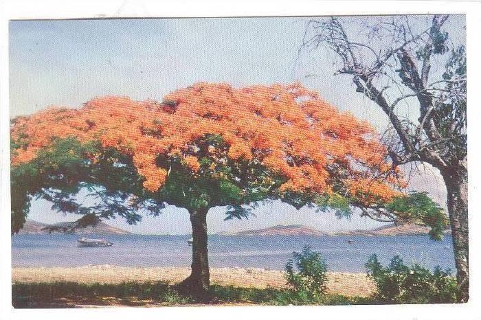 Un Flamboyant -Nouvelle Caledonie, Fire-Tree, New Caledonia, 1940-1960s