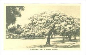 Tree in bloom, Noumea, New Caledonia, 20-30s