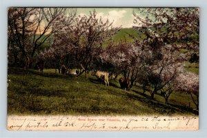 Titusville PA, Cattle, Flowering Trees, Vintage Pennsylvania c1907 Postcard