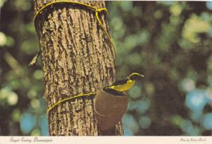Bananaquit bird eating sugar out of a coconut shell, Virgin Islands, PU-1981