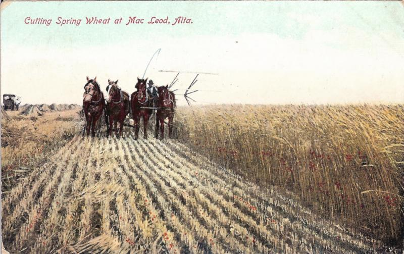 1910 Mac Leod / McLeod Alberta Canada Postcard, Cutting Spring Wheat