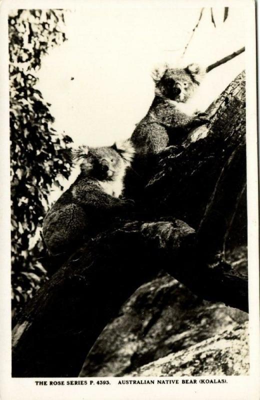 australia, Australian Native Bear, Koala Climbing (1940s) RPPC