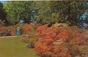 Azaleas at Highland Park, Rochester, New York