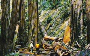 California Mill Valley Muir Woods National Monument Fallen Giant