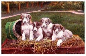 Dog Collie puppies