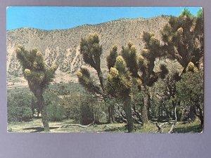 Joshua Trees CA Chrome Postcard A1173090126