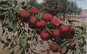 Oregon Red Apples Grown In Oregon