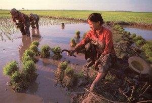 Kampuchean Rice Farmers Cambodia Oxfam Farming Postcard