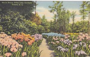 Iris In Bloom Swan Lake Gardens, Sumter, South Carolina, 1930-1940s
