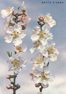 Blooming Almond, 1950-1960s