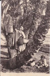 La Recoite des Dattes, Algeria , 00-10s