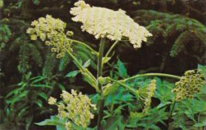 Alaska Flowers Cow Parsnip Wild Celery
