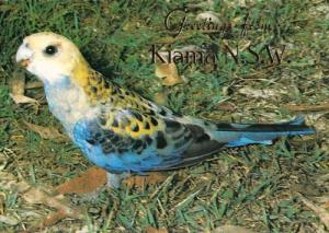 Pale Headed Rosella Kiama New South Wales Stunning Rare Photo Postcard