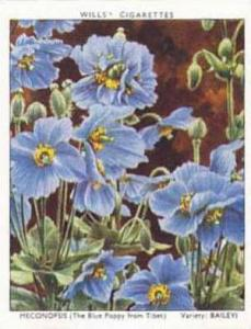 Wills Vintage Cigarette Card Garden Flowers 1938 A Series No 25 Meconopsis Ba...